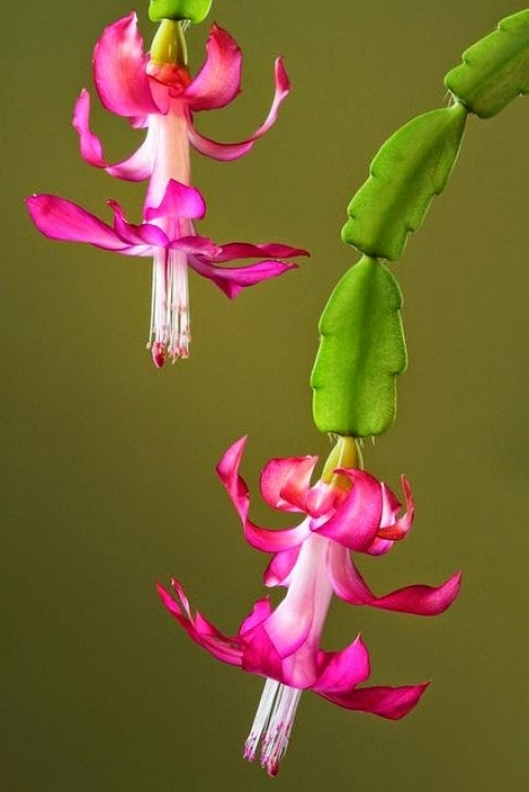 Most Popular Christmas Cactus Poem Picture444