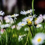 Most Popular Daisy Poem Wordsworth Picture468