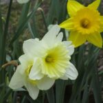 Most Popular English Poem Daffodils Pic138