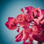 Most Popular Poem About Bougainvillea Photo608
