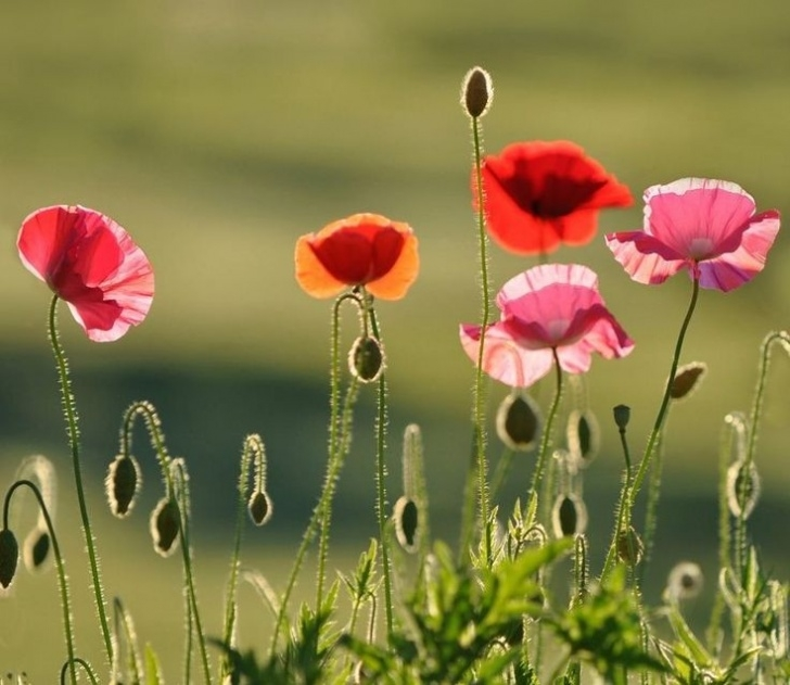 Most Popular Poppies Mary Oliver Pic865