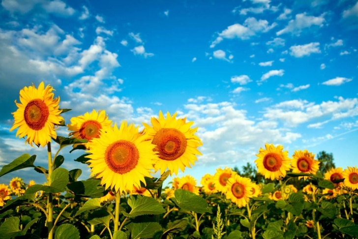 Most Popular Sunflower Haiku Poems Image125