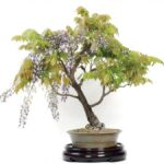 Most Popular The Bonsai Tree Poem Pics675