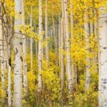 Motivational Aspen Tree Poem Photo781