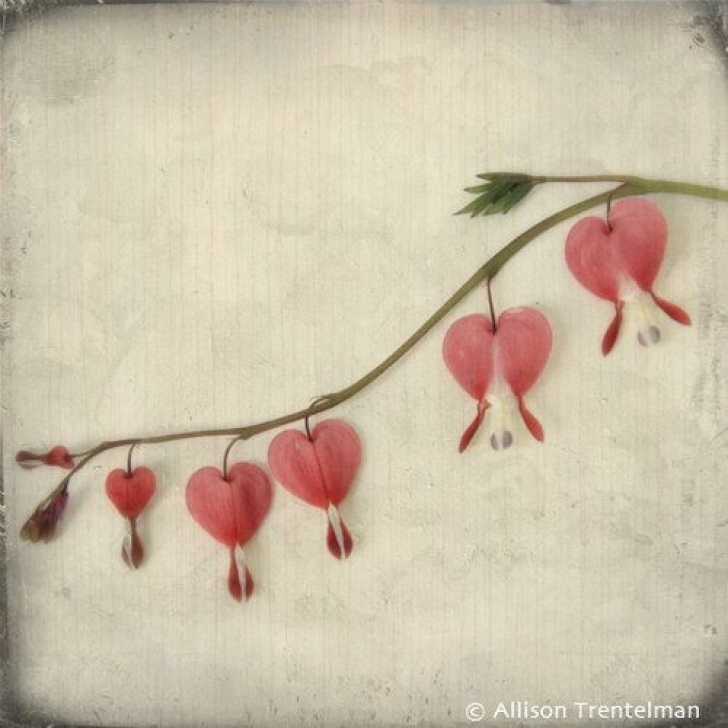 Motivational Bleeding Heart Flower Poem Image553