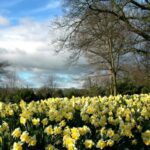 Motivational Daffodils Of Wordsworth Pic740