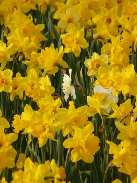 Motivational Poem About Daffodils Spring Pic900