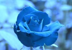 Motivational Rose Is Red Sky Is Blue Pic754