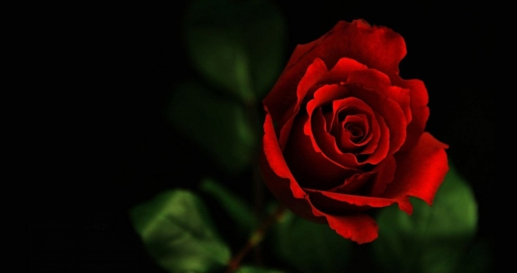 Motivational Single Red Rose Poem Image688