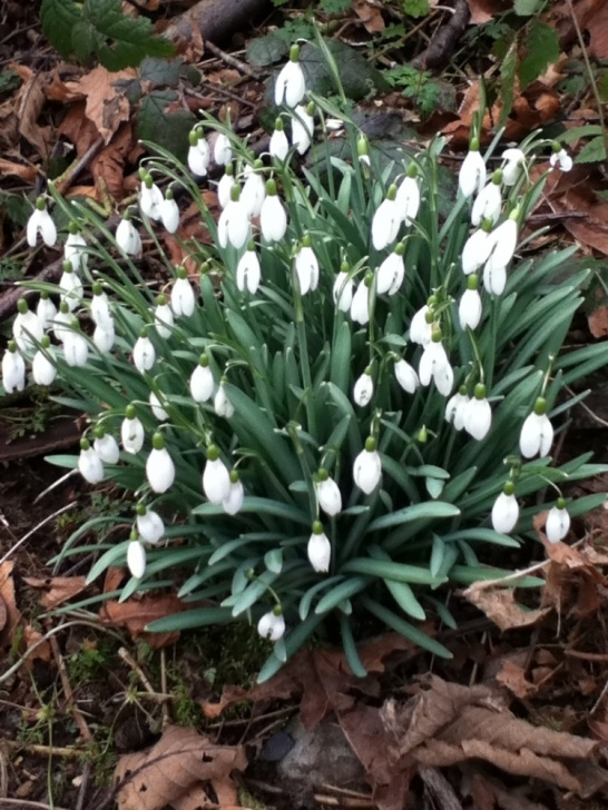 Motivational Snowdrop Poem Wordsworth Pic726