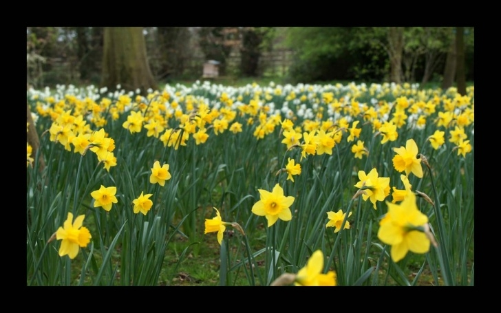 Motivational The Golden Daffodils Poem Photo187