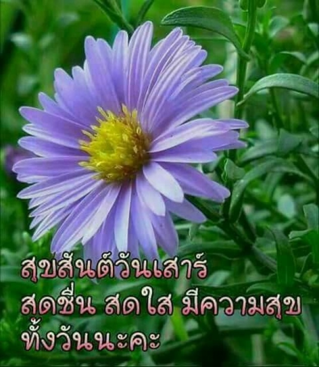 Outstanding Aster Flower Poem Pics629