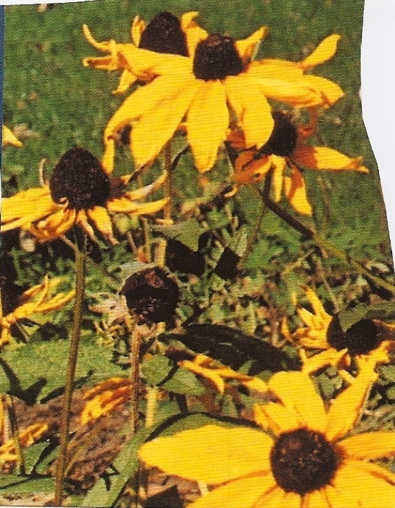 Outstanding Black Eyed Susan Poem Picture187