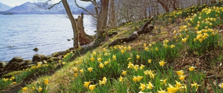 Outstanding Daffodils By Williams Wordsworth Picture815