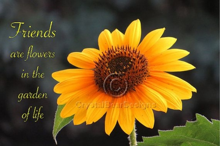 Outstanding Famous Poems About Sunflowers Pic531