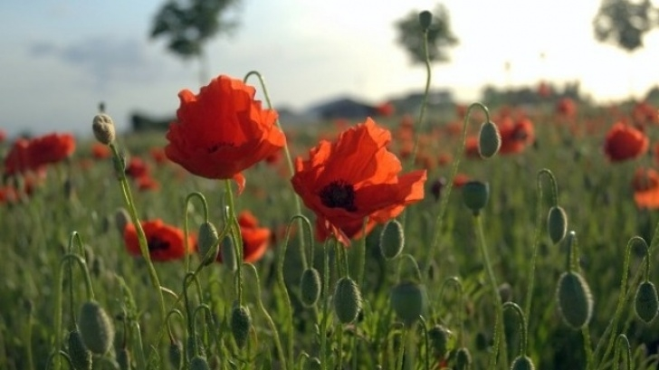 Outstanding Flanders Field The Poppies Grow Image492