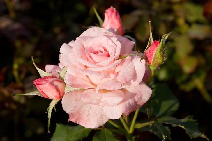 Outstanding Rose Flower Poem In English Photo295