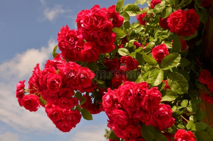 Outstanding Rose Is Red Sky Is Blue Picture807