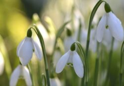 Outstanding To A Snowdrop Poem Image440