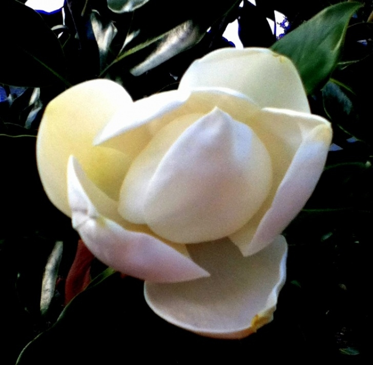 Outstanding White Magnolia Tree Poem Photo642