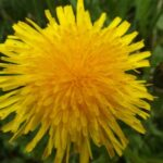 Popular Dandelion Poem Wordsworth Pic513