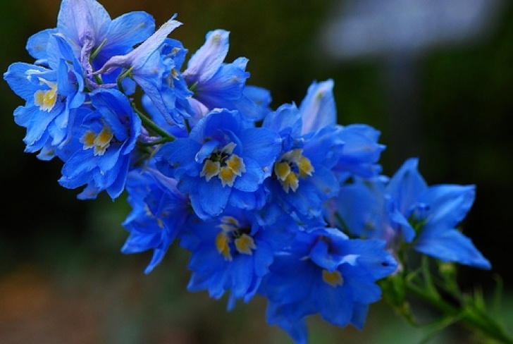 Popular Delphiniums Blue Poem Image310