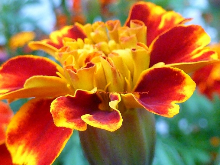 Popular Poem On Marigold Flower Pics527