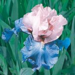 Popular Poems About Irises Photo934