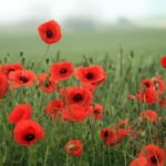 Popular Poppies In October Poem Picture770