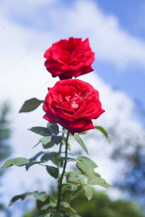 Popular Rose Is Red Sky Is Blue Image108