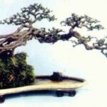 Popular The Bonsai Tree Poem Picture262