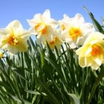 Popular To The Daffodils Picture572