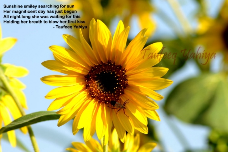 Stunning A Poem About Sunflowers Pic137