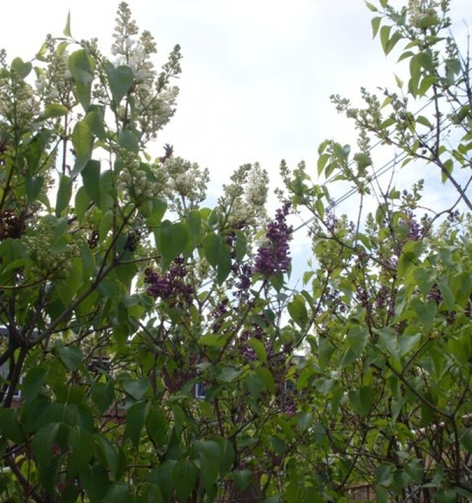 Stunning Amy Lowell Lilacs Photo853