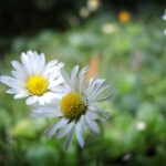 Stunning Daisy Poem Wordsworth Image983