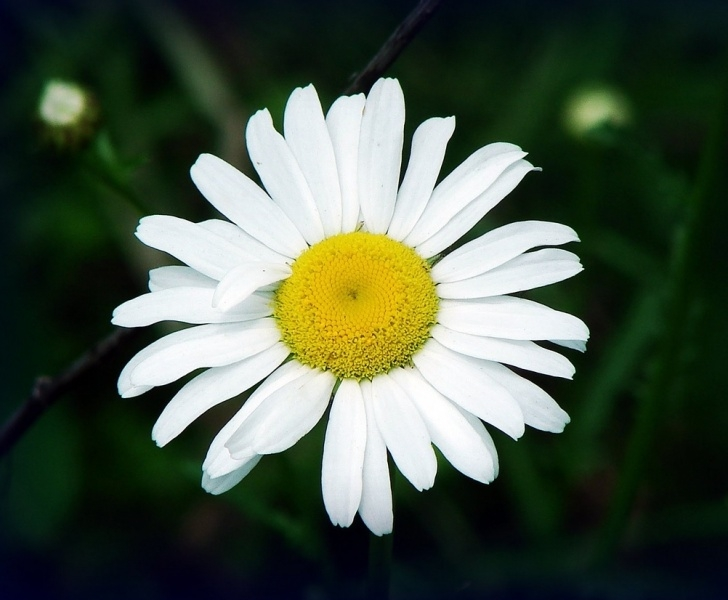 Stunning Daisy Poem Wordsworth Photo748