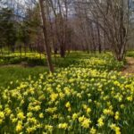 Stunning Field Of Daffodils Poem Image938