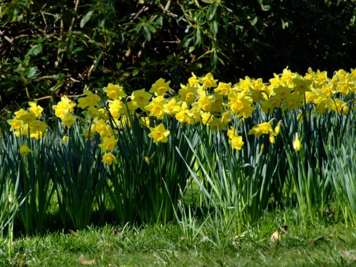 Stunning Poem About Daffodils Spring Pics571