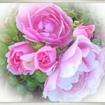 Stunning Poem About Rose Flower Picture171