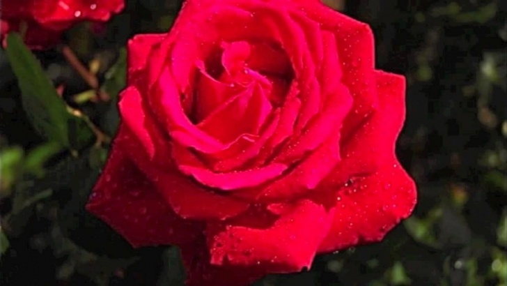 Stunning Roses And Red Poem Pics558
