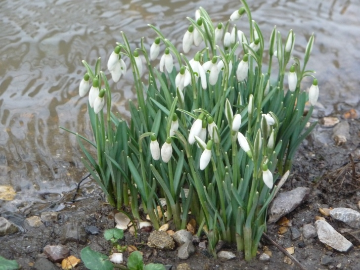 Stunning The Little Snowdrop Poem Photo909