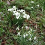 Stunning The Little Snowdrop Poem Photo989