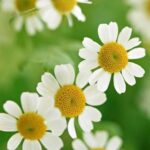 Stunning The Little White Daisy Poem Pic898