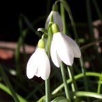 Stunning To A Snowdrop Poem Pic116