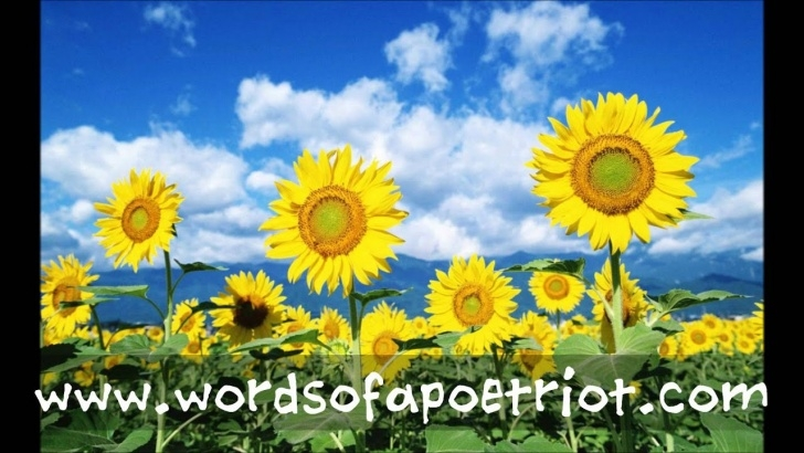 The Best A Poem About Sunflowers Pics151