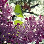 The Best Amy Lowell Lilacs Image503