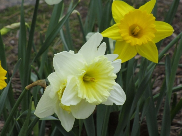The Best Poem To Daffodils Image176