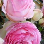 The Best Ronsard Rose Poem Pics981