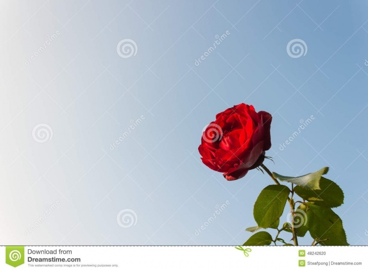 The Best Rose Is Red Sky Is Blue Picture542