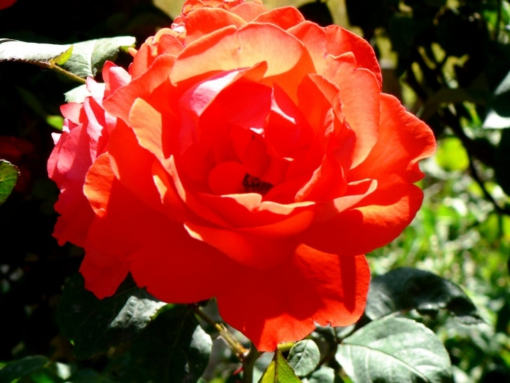 The Best Rumi Rose Garden Poem Photo549
